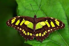Όμορφη πεταλούδα Metamorpha stelenes στο βιότοπο φύσης, από τη Κόστα Ρίκα Πεταλούδα στην πράσινη δασική συνεδρίαση εντόμων της Νί Στοκ Εικόνες