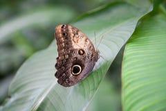 Όμορφη πεταλούδα Morpho peleides στο πράσινο φύλλο στοκ εικόνες