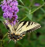 Όμορφη πεταλούδα Swallowtail που προσκολλάται στο βάλσαμο μελισσών Στοκ Εικόνες
