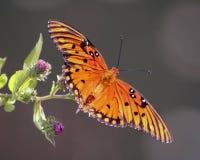 Όμορφη πορτοκαλιά πεταλούδα στα πορφυρά λουλούδια Στοκ Εικόνες
