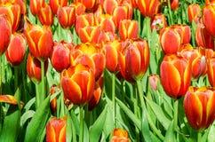 Όμορφη πορτοκαλιά τουλίπα Στοκ εικόνα με δικαίωμα ελεύθερης χρήσης