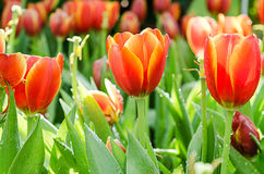 Όμορφη πορτοκαλιά τουλίπα Στοκ φωτογραφίες με δικαίωμα ελεύθερης χρήσης