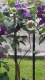 Όμορφη πορφυρή άμπελος Clematis με τις φυσαλίδες Στοκ φωτογραφία με δικαίωμα ελεύθερης χρήσης