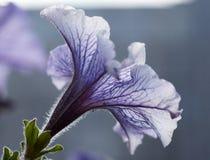 Όμορφη πορφυρή κινηματογράφηση σε πρώτο πλάνο λουλουδιών πετουνιών Στοκ Εικόνα