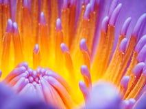Όμορφη πορφύρα waterlily Στοκ εικόνα με δικαίωμα ελεύθερης χρήσης