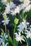 Όμορφη πράσινη τουλίπα άνοιξη και άσπρα daffodils στο πάρκο κόλπος ελαφριά Πετρούπολη ST της Φινλανδίας βραδιού ακτών Στοκ Φωτογραφίες