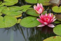 Όμορφη ροδανιλίνη ή ροζ waterlily ή λουλούδια λωτού στη λίμνη Στοκ Φωτογραφίες