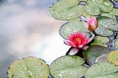 Όμορφη ροδανιλίνη ή ροζ waterlily ή λουλούδια λωτού στη λίμνη Στοκ Εικόνες