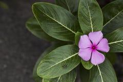 Όμορφη ρόδινη άνθιση λουλουδιών Λίγη μεταλλική μύγα Στοκ φωτογραφίες με δικαίωμα ελεύθερης χρήσης