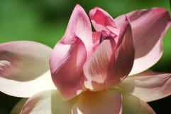 Όμορφη ρόδινη ανάπτυξη λουλουδιών λωτού στη Νότια Αυστραλία Στοκ Φωτογραφία