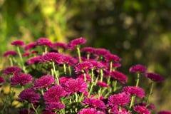 Όμορφη ρόδινη ανάπτυξη χρυσάνθεμων στον κήπο, υπόβαθρο στοκ εικόνες