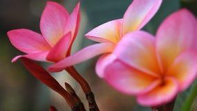 Όμορφη ρόδινη κινηματογράφηση σε πρώτο πλάνο Plumeria απόθεμα βίντεο