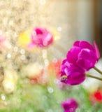 Όμορφη ρόδινη τουλίπα με τη μέλισσα στον κήπο Στοκ Φωτογραφίες