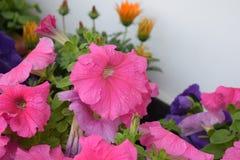 Όμορφη ρόδινη άνθιση λουλουδιών Στοκ φωτογραφίες με δικαίωμα ελεύθερης χρήσης