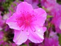 Όμορφη ρόδινη αζαλέα Στοκ εικόνα με δικαίωμα ελεύθερης χρήσης