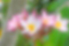 Όμορφη ρόδινη επάνθιση Plumeria σκηνικού Στοκ εικόνα με δικαίωμα ελεύθερης χρήσης