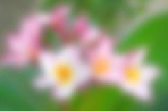 Όμορφη ρόδινη επάνθιση Plumeria σκηνικού Στοκ φωτογραφίες με δικαίωμα ελεύθερης χρήσης