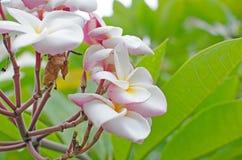 Όμορφη ρόδινη επάνθιση Plumeria Στοκ Εικόνες
