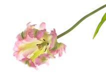Όμορφη ρόδινη και πράσινη διαφοροποιημένη τουλίπα Στοκ εικόνες με δικαίωμα ελεύθερης χρήσης