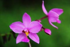 Όμορφη ρόδινη ορχιδέα χλωρίδας λουλουδιών Στοκ Εικόνα