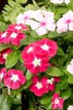 Όμορφη ρόδινη λουλούδια vinca ή βίγκα της Μαδαγασκάρης Στοκ Εικόνες