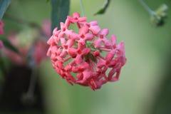 Όμορφη ρόδινη συστάδα των λουλουδιών στην άνθιση Στοκ Εικόνες
