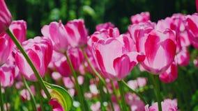 Όμορφη ρόδινη ταλάντευση τουλιπών στον αέρα Τα πέταλα των λουλουδιών ανάβουν τον ήλιο απόθεμα βίντεο