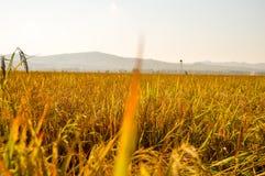 Όμορφη σκηνή του χρυσού καλλιεργήσιμου εδάφους ορυζώνα Στοκ φωτογραφία με δικαίωμα ελεύθερης χρήσης