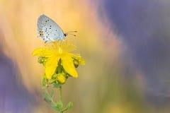 Όμορφη σκηνή φύσης με κοντός-παρακολουθημένο πεταλούδα μπλε Cupido argiades Στοκ εικόνα με δικαίωμα ελεύθερης χρήσης