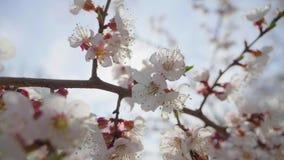 Όμορφη σκηνή φύσης με την ανθίζοντας φλόγα δέντρων και ήλιων Λουλούδια άνοιξη στον οπωρώνα Εμπνευσμένα λουλούδια άνοιξη και απόθεμα βίντεο