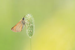 Όμορφη σκηνή φύσης με το lineola Thymelicus πλοιάρχων Essex πεταλούδων Στοκ εικόνες με δικαίωμα ελεύθερης χρήσης