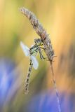 Όμορφη σκηνή φύσης με το vulgatum Sympetrum των vagrant λιβελλουλών darter Στοκ Φωτογραφία