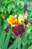 όμορφη σκοτεινή πορφύρα ίριδων λουλουδιών Στοκ Εικόνα