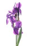όμορφη σκοτεινή πορφύρα ίριδων λουλουδιών Στοκ Εικόνες