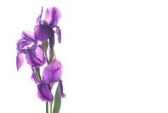 όμορφη σκοτεινή πορφύρα ίριδων λουλουδιών Στοκ φωτογραφία με δικαίωμα ελεύθερης χρήσης