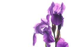 όμορφη σκοτεινή πορφύρα ίριδων λουλουδιών Στοκ εικόνες με δικαίωμα ελεύθερης χρήσης