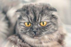 Όμορφη σκωτσέζικη γκρίζα γάτα πτυχών με τη ζάλη των μεγάλων κίτρινων ματιών που εξετάζουν το φωτογράφο Πορτρέτο στοκ εικόνες