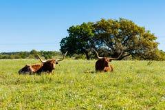 Όμορφη στήριξη longhorns Στοκ εικόνα με δικαίωμα ελεύθερης χρήσης