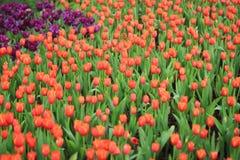 όμορφη στενή τουλίπα λουλουδιών επάνω Στοκ εικόνες με δικαίωμα ελεύθερης χρήσης