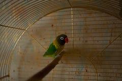 Όμορφη συνεδρίαση παπαγάλων lovebird Στοκ φωτογραφία με δικαίωμα ελεύθερης χρήσης