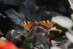 Όμορφη συνεδρίαση πεταλούδων στα σκούρο πράσινο φύλλα μια θερμή ηλιόλουστη ημέρα στοκ εικόνες με δικαίωμα ελεύθερης χρήσης
