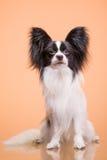 Όμορφη συνεδρίαση σκυλιών papillon στο ρόδινο υπόβαθρο Στοκ Φωτογραφίες
