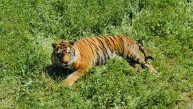 Όμορφη τίγρη στη φύση στοκ εικόνα με δικαίωμα ελεύθερης χρήσης
