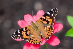 Όμορφη τεράστια πεταλούδα στο λουλούδι Στοκ φωτογραφία με δικαίωμα ελεύθερης χρήσης