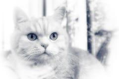 Όμορφη τιγρέ γάτα κρέμας με την πράσινη κινηματογράφηση σε πρώτο πλάνο ματιών, bw στοκ εικόνες με δικαίωμα ελεύθερης χρήσης