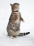 Όμορφη τιγρέ γάτα στο χιόνι Στοκ φωτογραφία με δικαίωμα ελεύθερης χρήσης