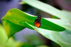 Όμορφη τροπική πεταλούδα στο πράσινο φύλλο Στοκ φωτογραφία με δικαίωμα ελεύθερης χρήσης