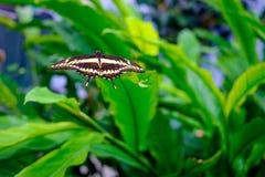 Όμορφη τροπική πεταλούδα στο πράσινο φύλλο Στοκ Εικόνες
