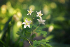 Όμορφη φρέσκια άσπρη ανάπτυξη λουλουδιών άνοιξη κοντά στους ποταμούς και τη λίμνη Στοκ Φωτογραφίες