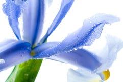 όμορφη φρέσκια ίριδα Στοκ Εικόνα